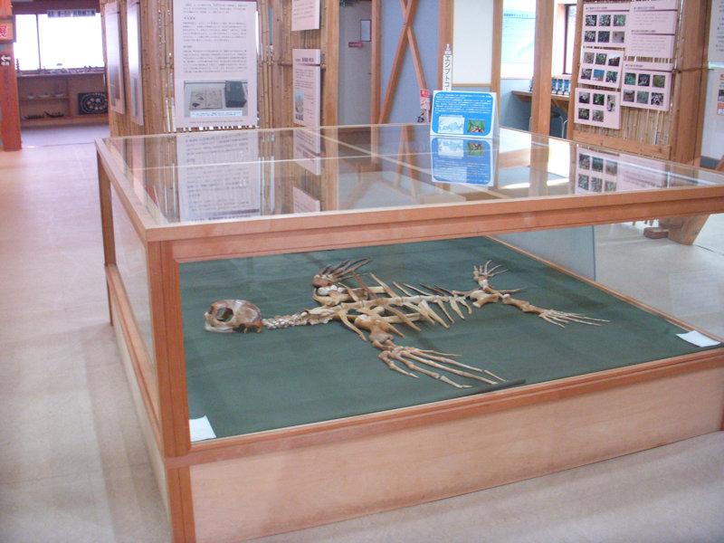 オサガメ骨格標本