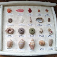 流木フレーム貝の標本